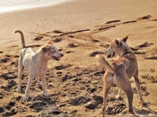 гингивит у собаки