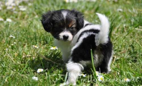 порода собак колли шотландская овчарка: описание экстерьера, характеристика врожденных качеств, уход и содержание